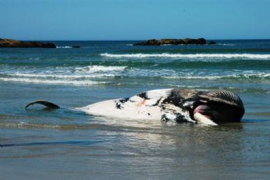 Baleia minke anã é encontrada morta na Praia da Galheta, em Florianópolis / Divulgação/PBF-Brasil