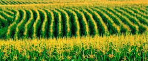 Conab oferta mais 150 mil toneladas de milho em leilão para criadores