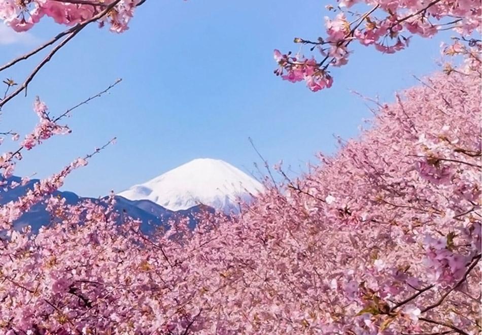 Japão à sombra das cerejeiras em flor