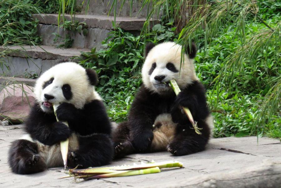 Pandas Sao Clicados Comendo Bambu Na China Band Com Br