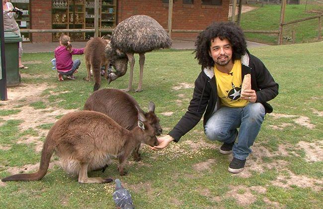 Antonio entra em contato com cangurus, os principais mascotes da Austrália /