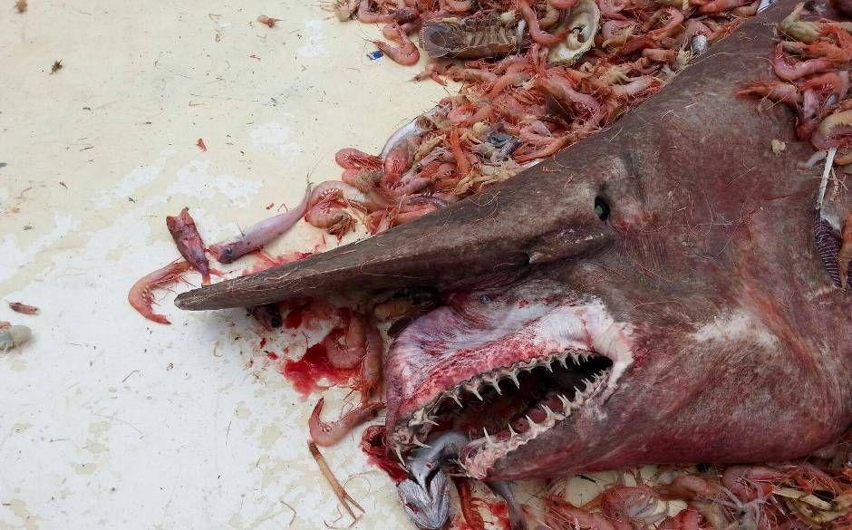 Pescador se surpreendeu quando tubarão apareceu entre os camarões / Divulgação/NOAA