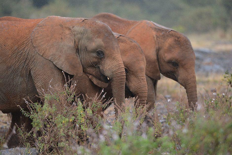 Filhotes de elefantes no Quênia / Simon Maine/AFP