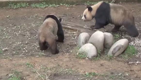 Pandas copulam por sete minutos e batem recorde / Reprodução/YouTube