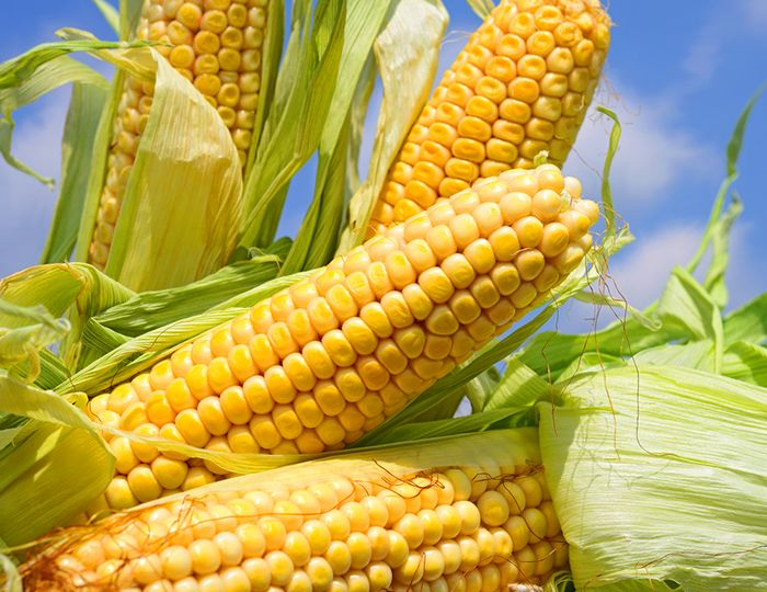 Quem resiste a um saboroso milho?