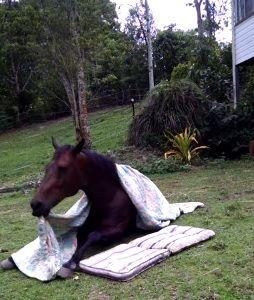 Truque de puxar a coberta foi ensinado pela treinadora do cavalo / Reprodução/YouTube