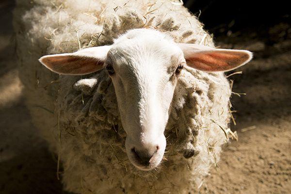 Organização investigará alegação que coloca em risco as ovelhas / EMMANUELE CONTINI / DPA / AFP