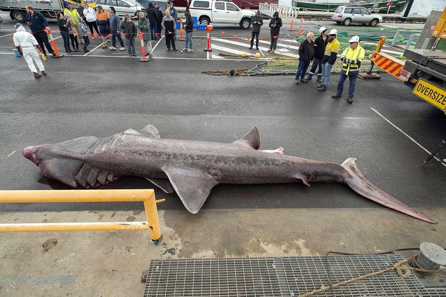 tubarão-peregrino capturado na Austrália