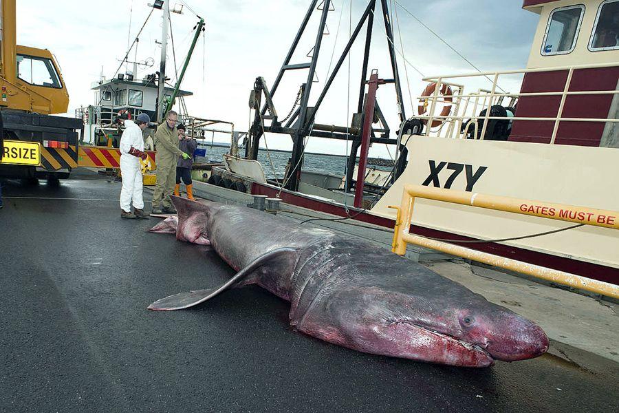 tubarão-peregrino capturado na Austrália / HO / Museum Victoria / AFP