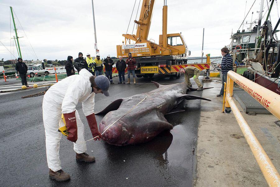 Oficiais medem tubarão-peregrino capturado acidentalmente
