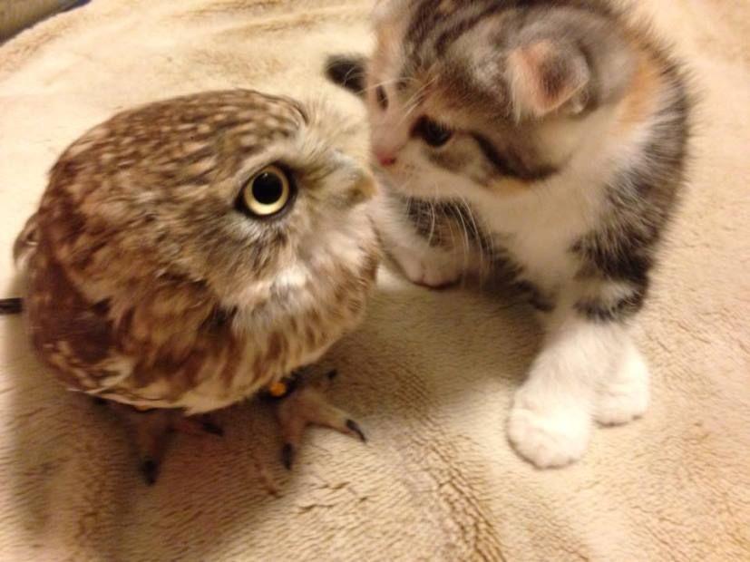 Gato e coruja mantêm amizade em cafeteria japonesa / Reprodução/Facebbok/Hukulou Coffee