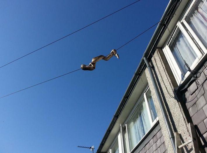 Cobra tenta escapar de casa e enrola-se em fio a seis metros do chão / Reprodução/Twitter/Rob Taylor
