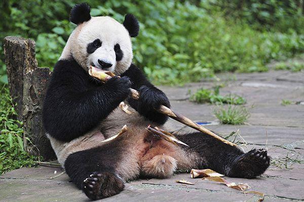 Gastos de energia diário dos pandas são parecidos com os do bicho-preguiça / China Daily / Reuters