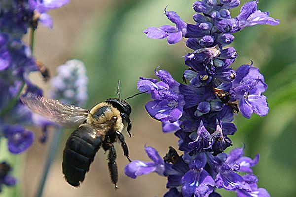 Desaparecimento de abelhas poderá causar mais de um milhão de mortes