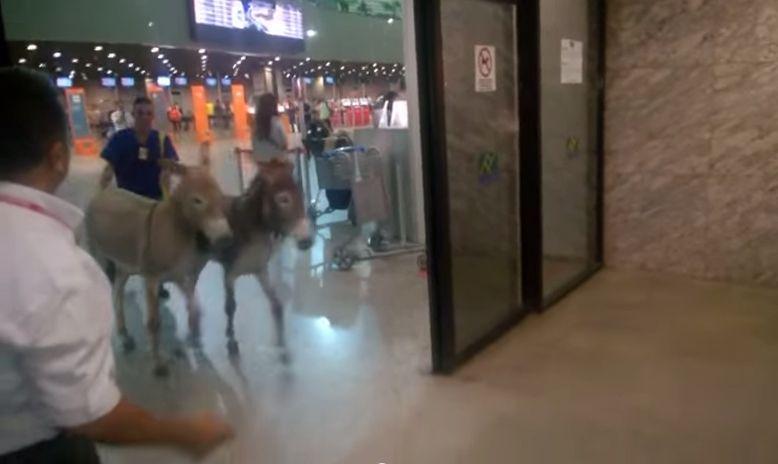 Jumentos foram retirados de saguão por funcionários do aeroporto / Reprodução/YouTube
