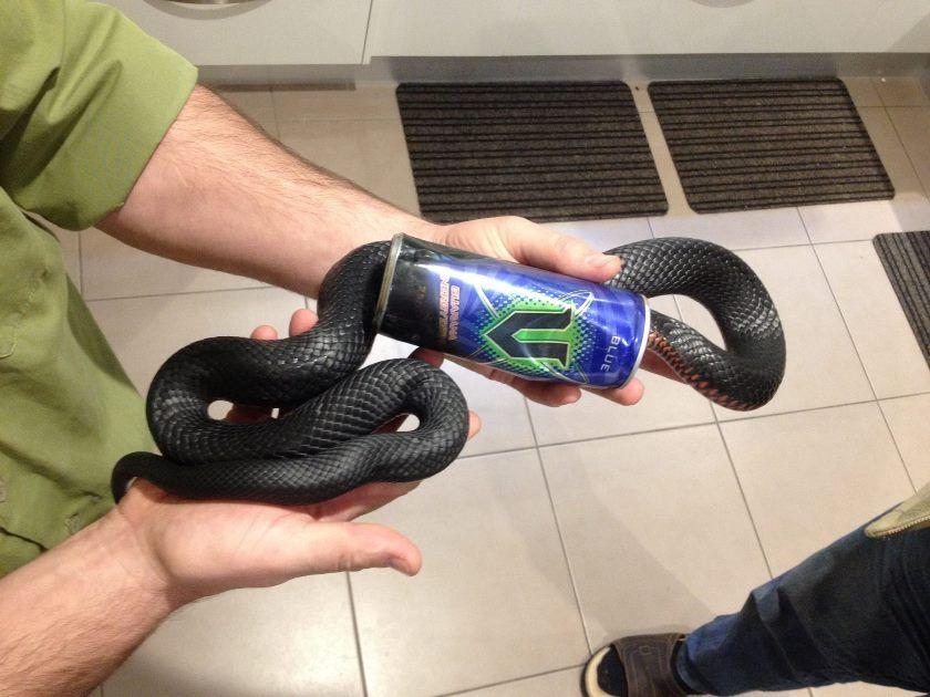 Cobra fica entalada em lata de energético na Austrália