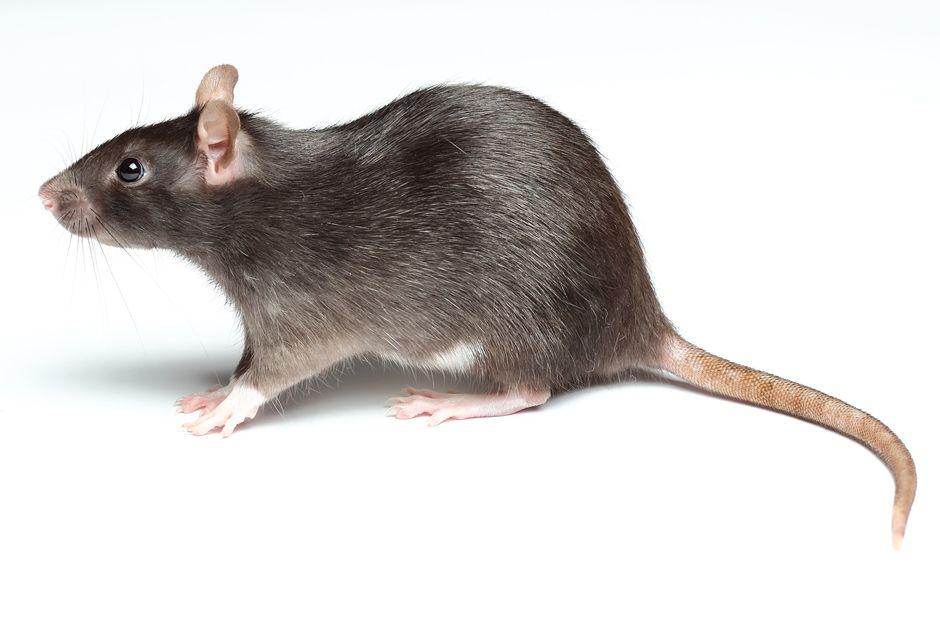 Ratos assustaram moradores e turistas da cidade / Shutterstock