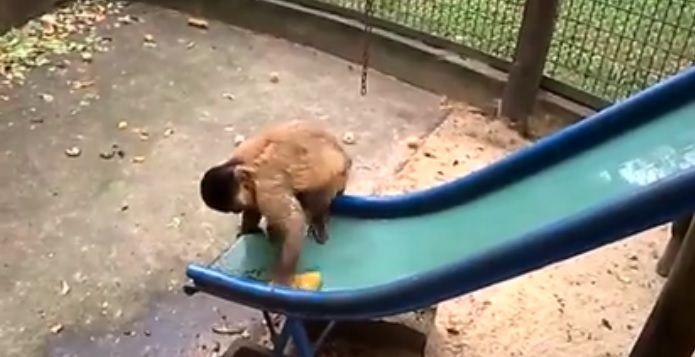 Macaco-prego é flagrado limpando escorregador no zoo de Piracicaba