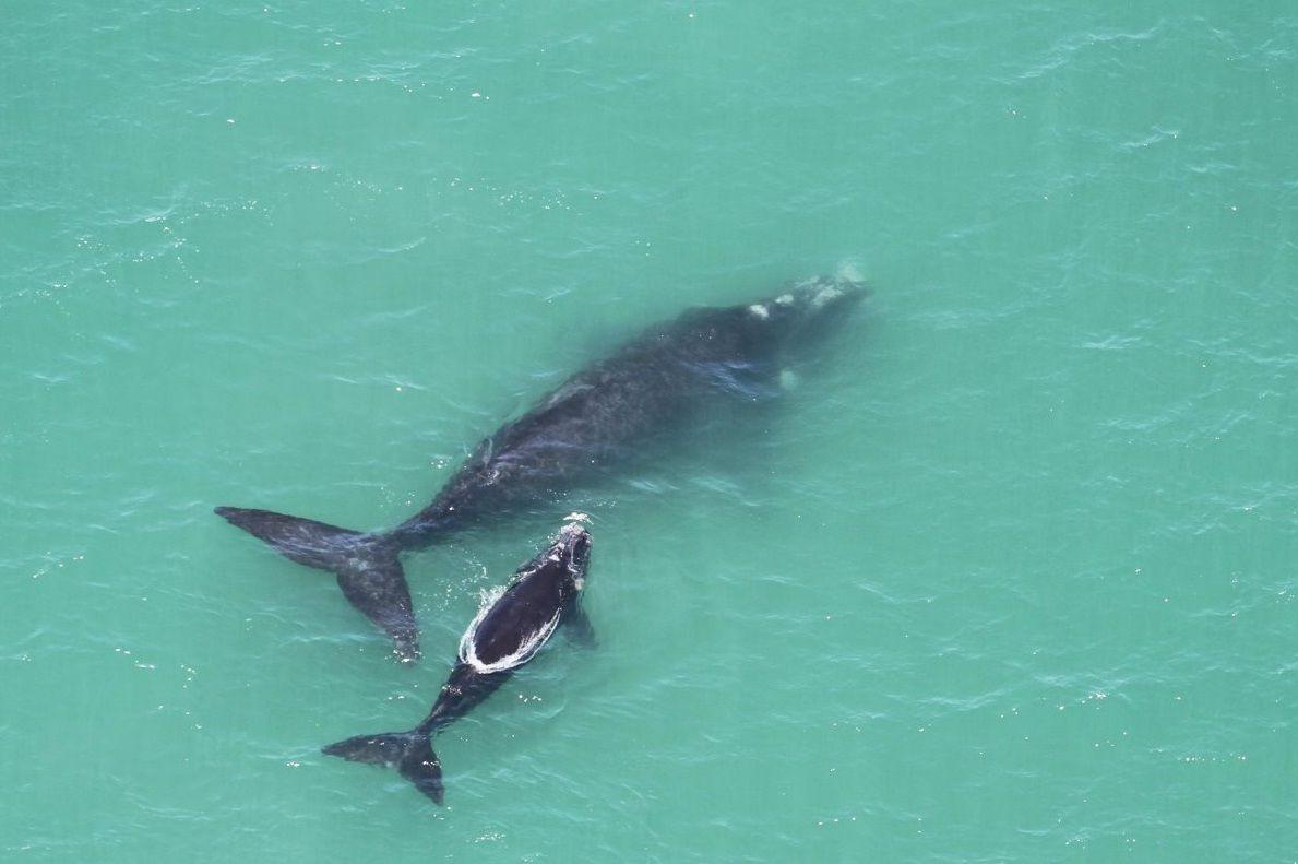 Migração de baleias é atrativo turístico no litoral de SC