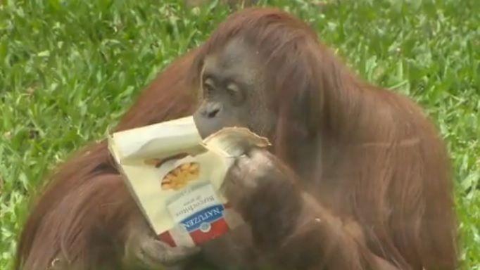 Orangotango Sandra ganha lar em reserva natural no Brasil