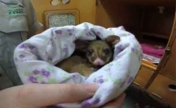 Zoológico resgata filhote de possum pigmeu na Austrália