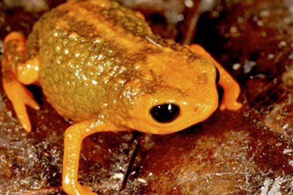 Em junho de 2015, no Brasil, sete espécies de minissapos foram descobertas