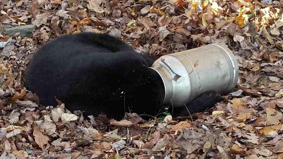 Urso fica entalado em lata de leite