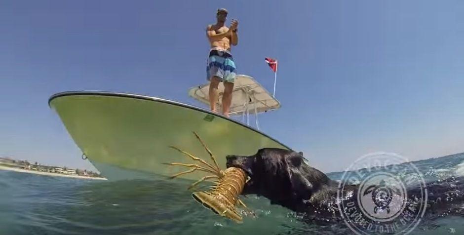 Cachorro pega lagosta do mar para o dono