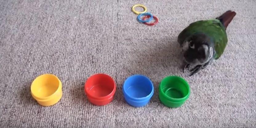 Papagaio reconhece e organiza cores