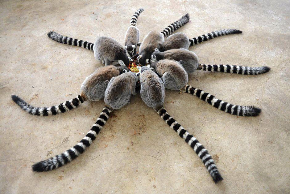 Lêmures fazem uma roda em volta de um prato de comida
