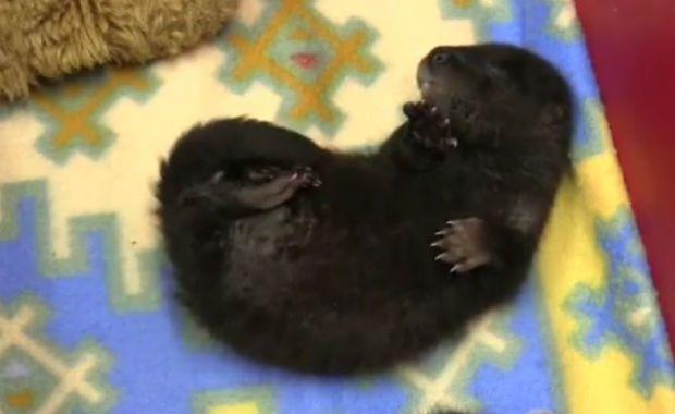 Filhotes de lontra recebem cuidados após fuga da mãe