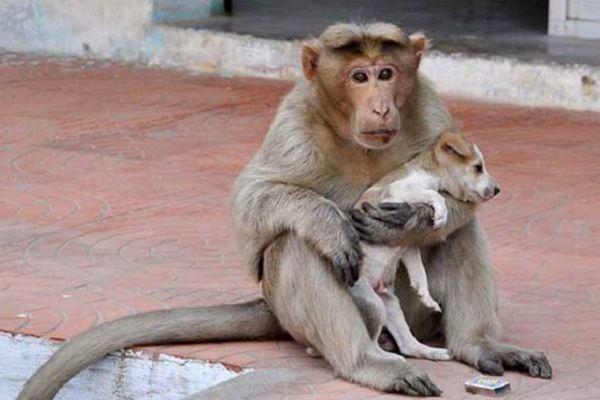 Macaco adota cachorrinho na Índia