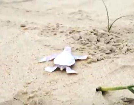 Veja: tartaruga albina nasce em praia australiana