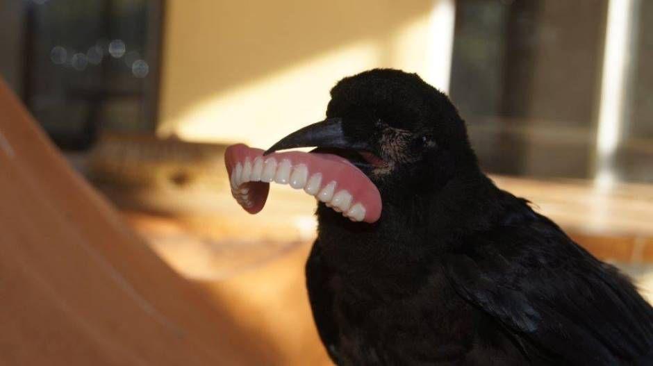 Corvo 'rouba' dentadura de dono na África do Sul
