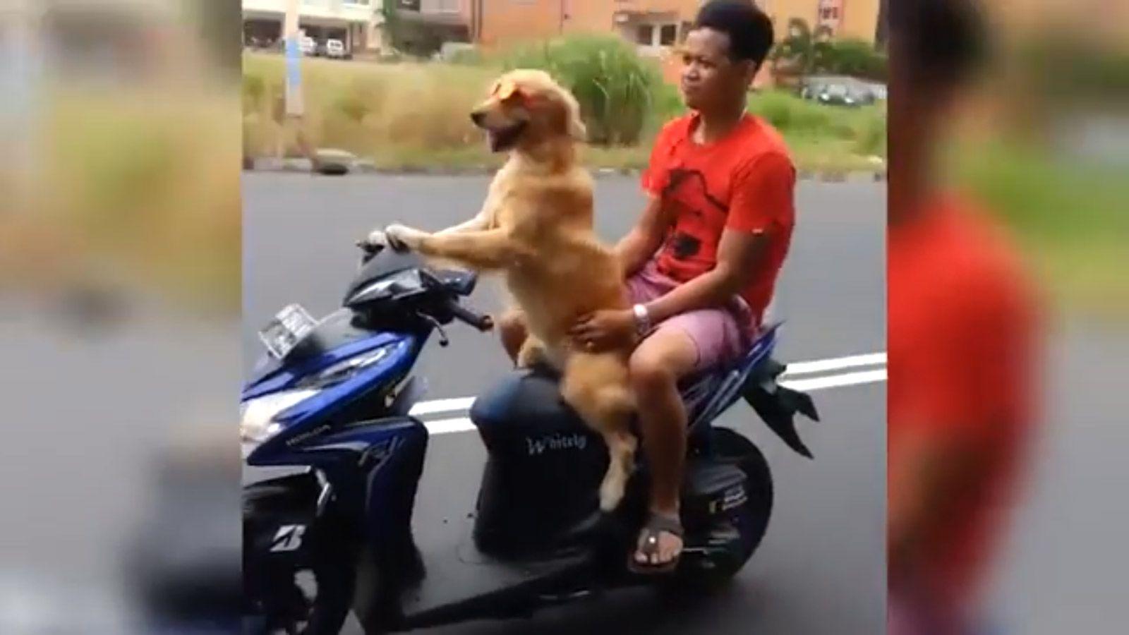 Cachorro pilota motocicleta na Indonésia