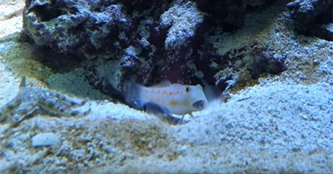 Peixe afasta estrela-do-mar que queria invadir toca