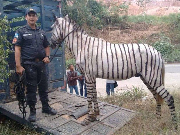 Policiais ficaram surpresos com cavalo pintado de zebra