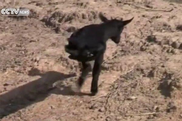 Cabra de duas patas aprende a andar