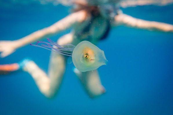 Fotógrafo captura peixe dentro de água-viva
