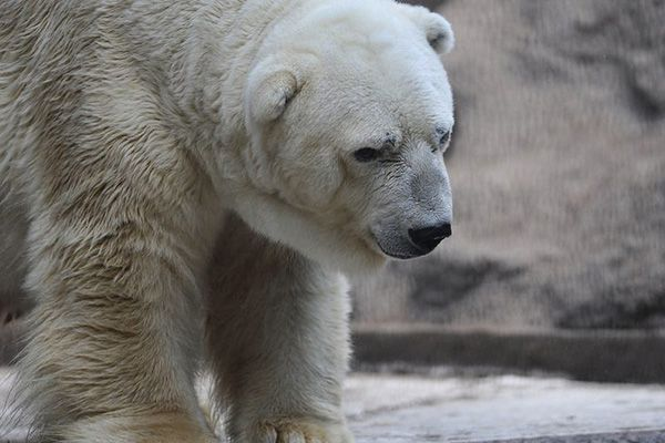 Morre Na Argentina Urso Polar 'mais Triste Do Mundo