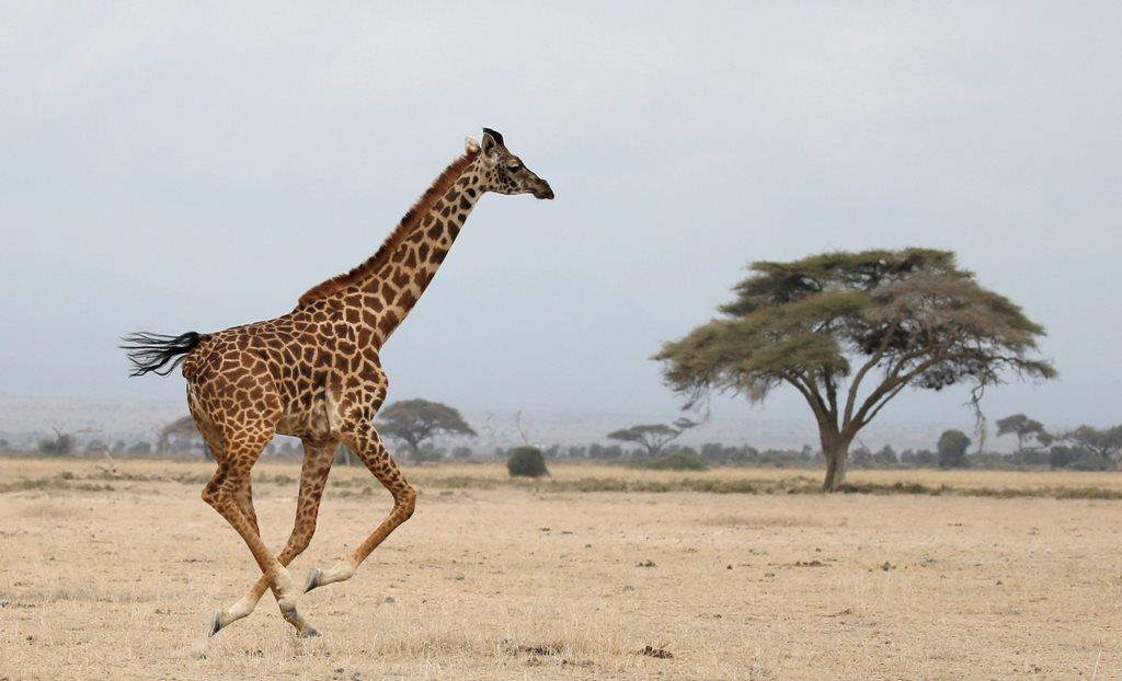 Girafa entra na lista de espécies ameaçadas