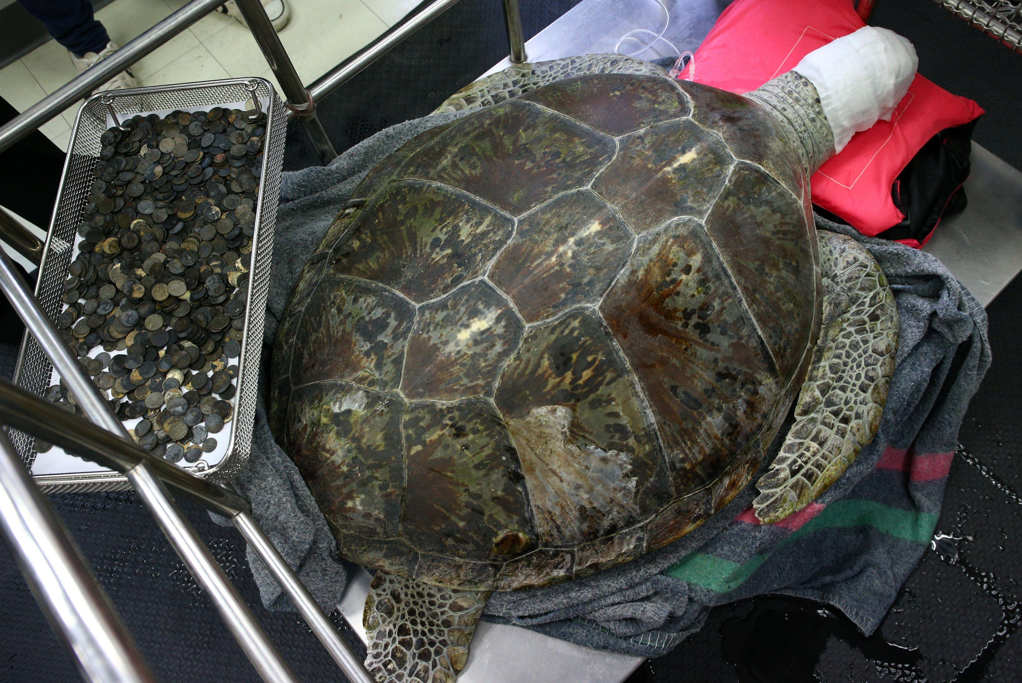 Tartaruga que engoliu quase mil moedas morre na Tailândia