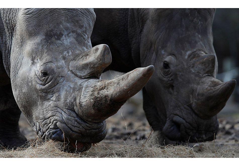 Ladrões matam rinoceronte e roubam chifre na França