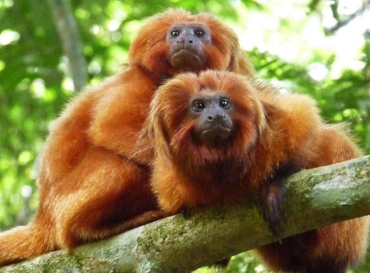 SES investiga morte de dois micos-leões-dourados
