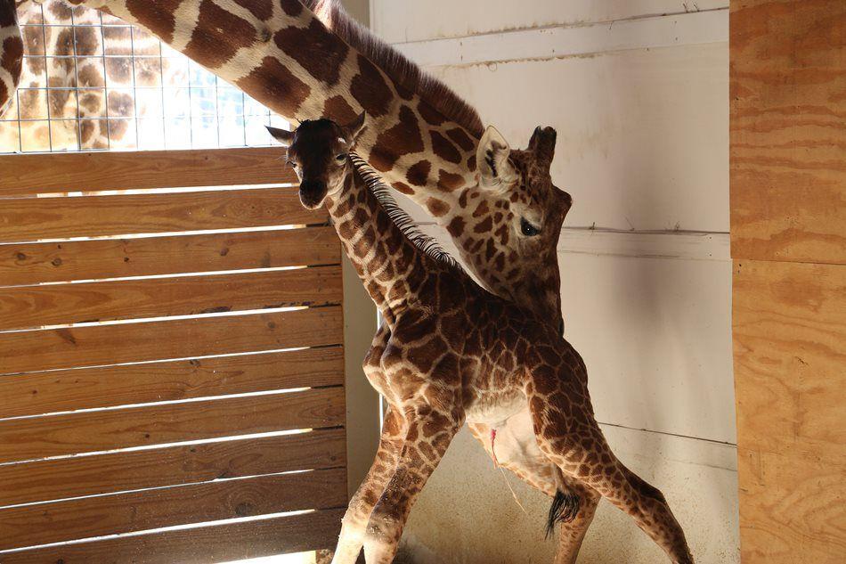 Girafa nasce em Nova York sob olhares de internautas