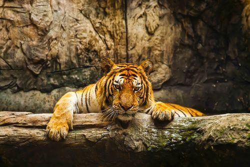 O tigre é destaque na edição  / Divulgação