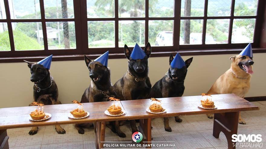 Cães policiais fazem aniversário com bolo e chapéu de festa