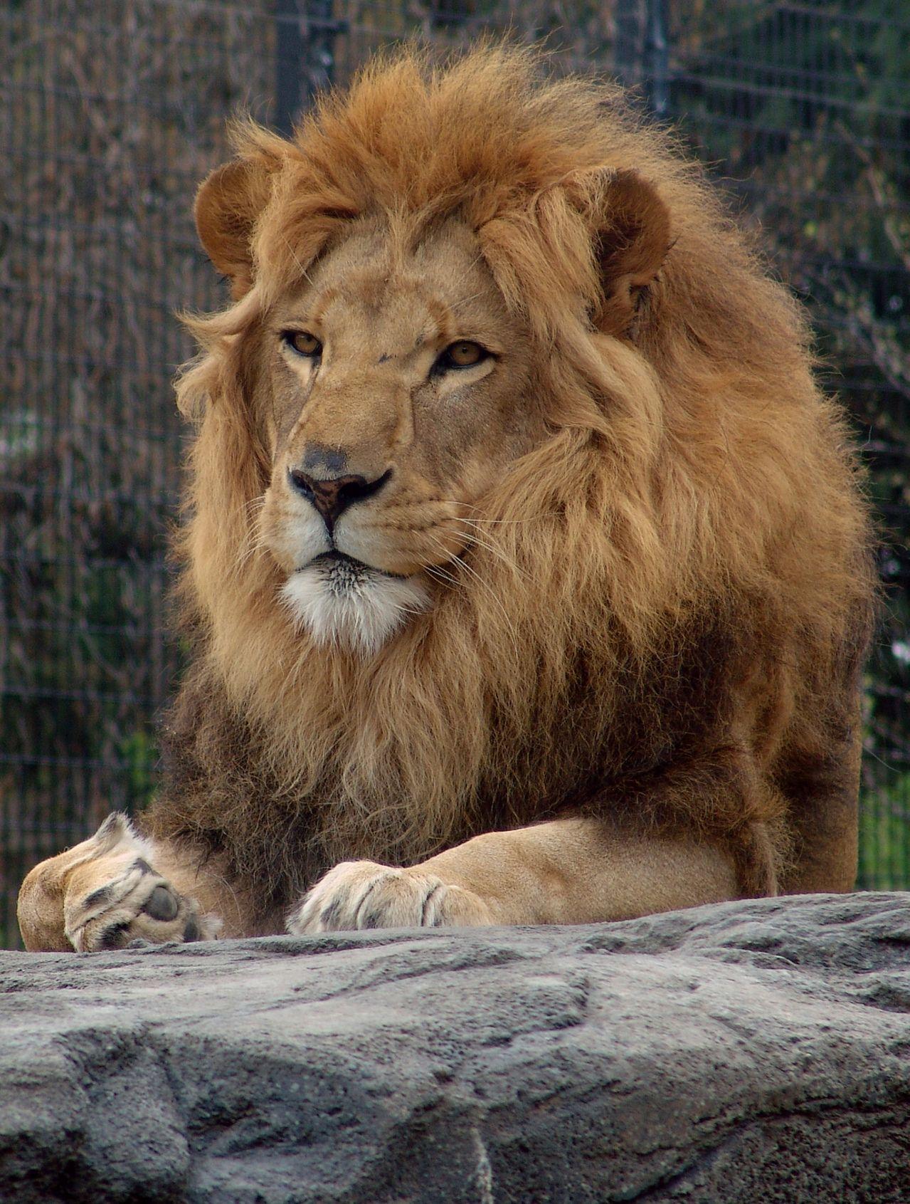 Caça reduz em 43% população de leões no mundo