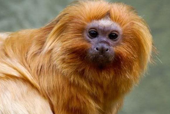 Pesquisadores avistam micos-leões-dourados no Rio