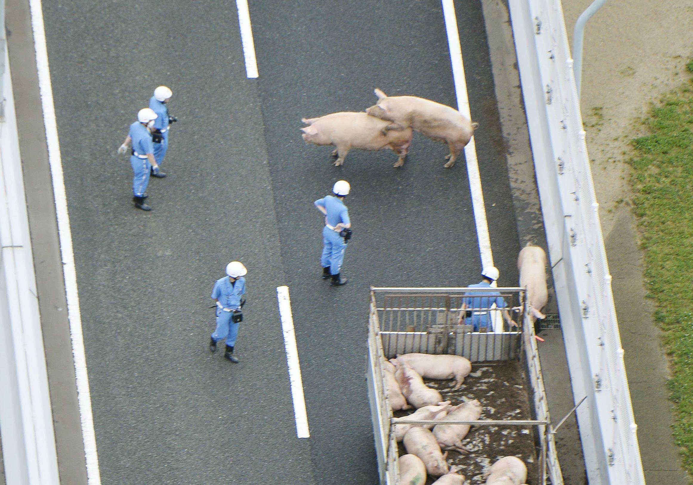 Os porcos não se machucaram durante o acidente  / Kyodo/Reuters